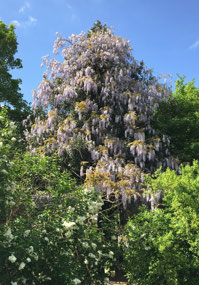 Lovely wisteria tree in full bloom