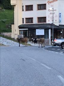 Cows wander everywhere