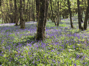 A field of blue bells