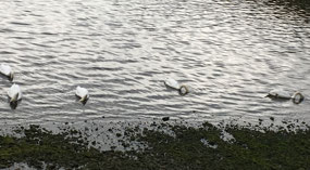 All the swans are enjoying something in the water