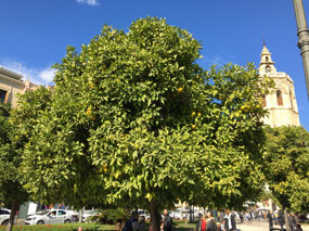Valencia Oranges growing on trees