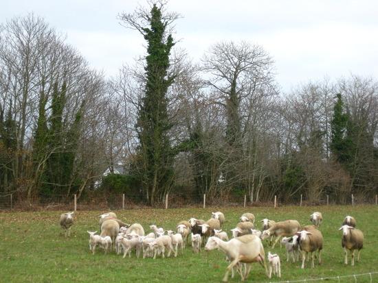glückliche Schafe draußen