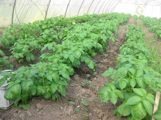 man kann den Kartoffeln beim Wachsen zusehen