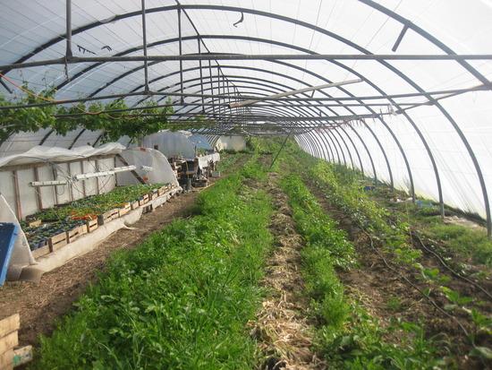 Gewächshaus der Melonen, Auberginen, Paprika