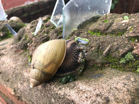 the biggest snail I've ever seen