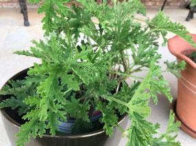 Citronella plant at the Dobson's