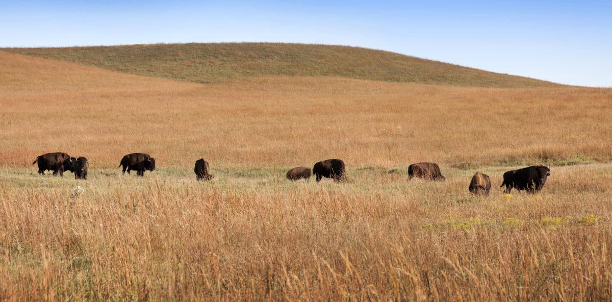 Tallgrass Bison
