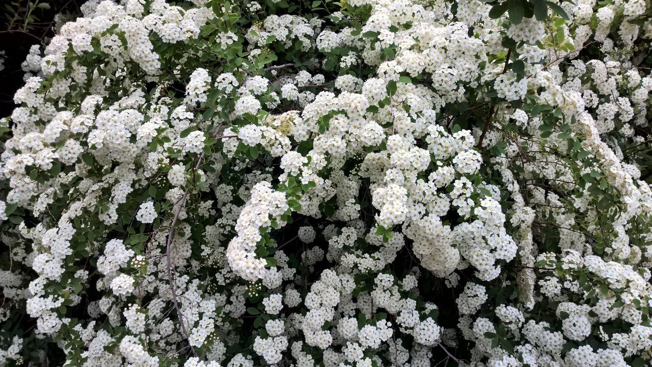 Huge white flowered bushed