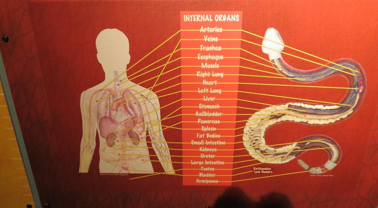 Organ similarity