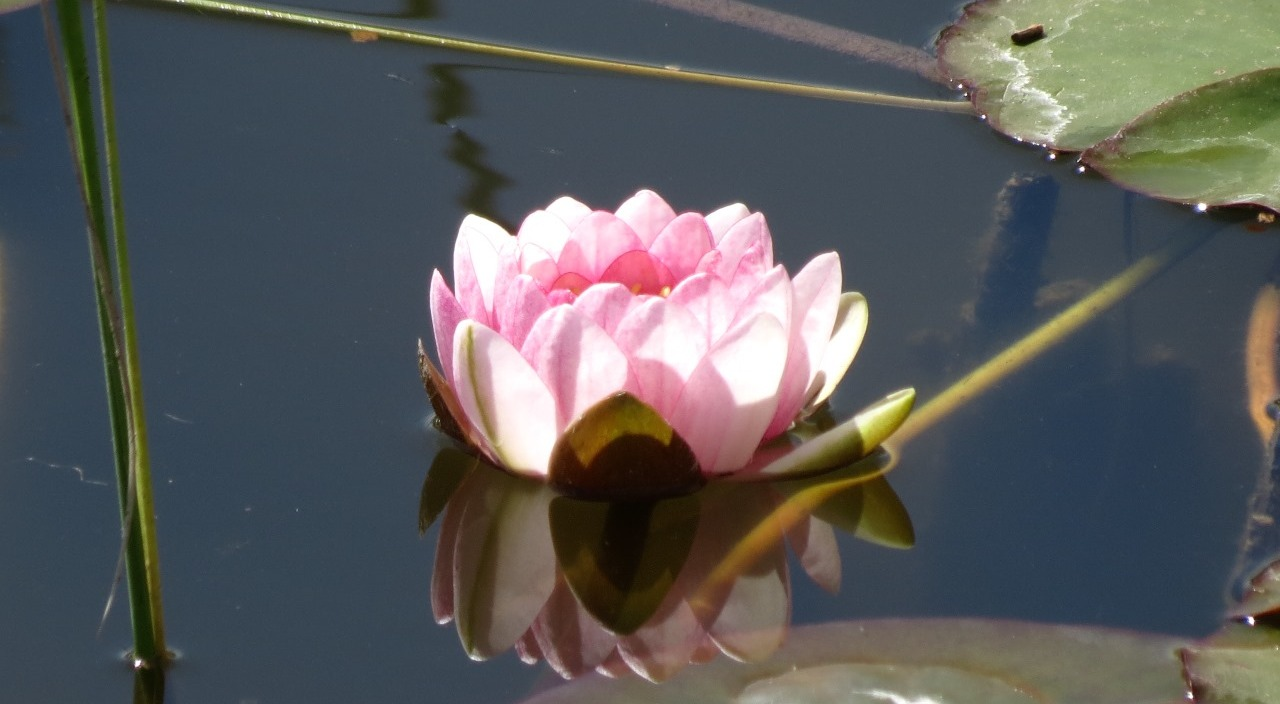 One lilly in the entire pond