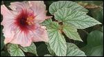 Hybiscus