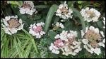 Lace Cap Hydrangea
