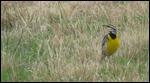 Western Meadowlark-Kansas State Bird