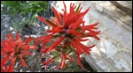 Indian paintbrush?