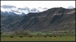 Beautiful cattle