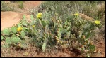 Central Pricklyperar (Plains Pricklypeary)