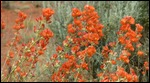 Scarlet Globemallow (Common Globemallow)