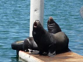 Zeeleeuwen in Morro Bay