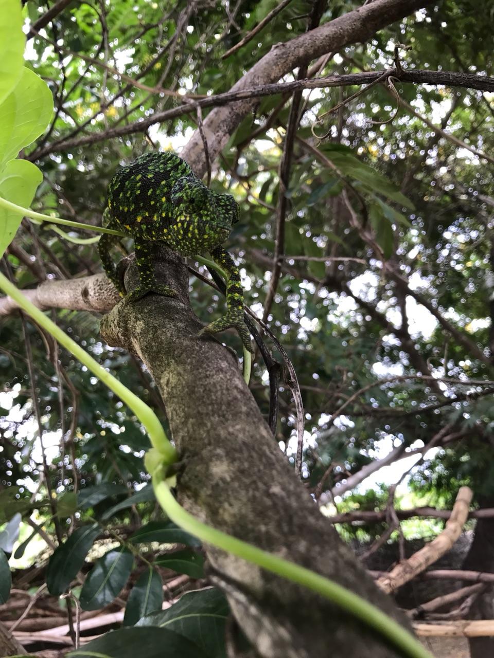 Cephas's new pet chameleon