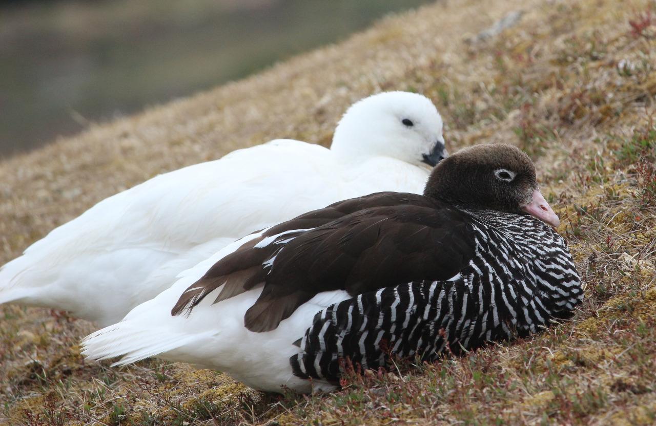Kelp geese (male/female)