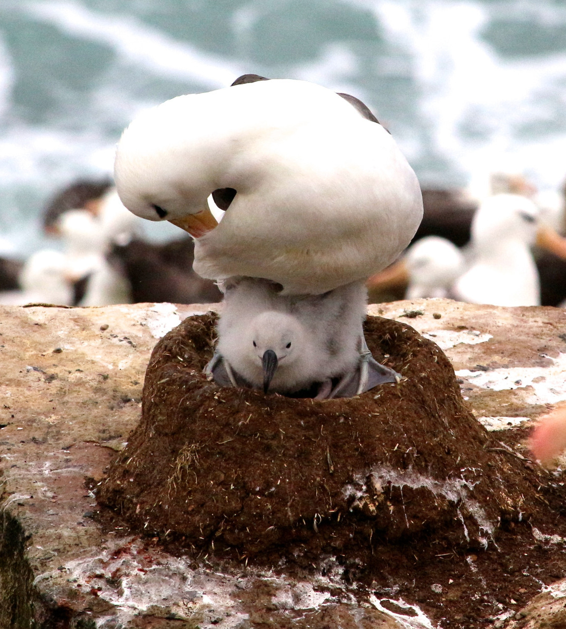 Black-browed albatross and chick --> read on