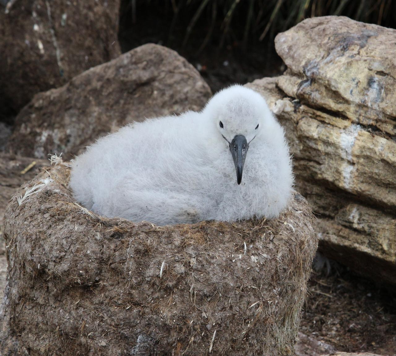 Black-browed albatross chick on nest