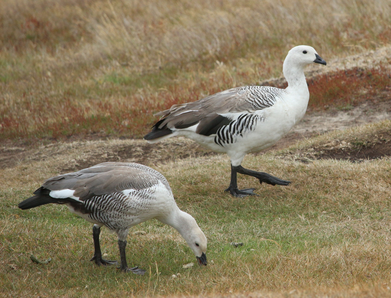 Greater upland geese