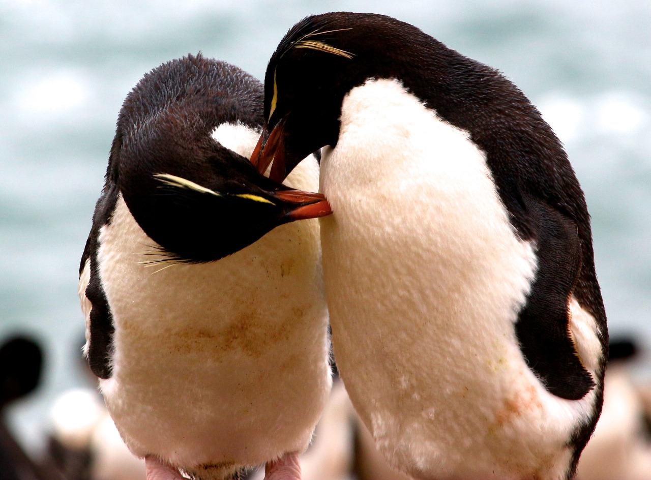 Rock-hopper pair - Courtship preening