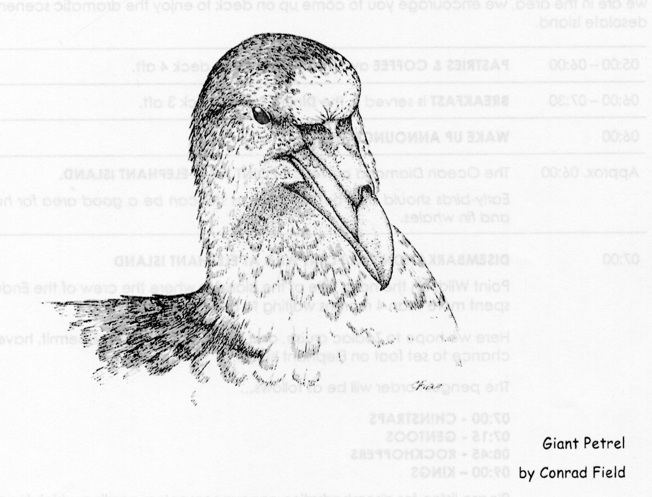 Giant Petrel - drawing by naturalist Conrad Field