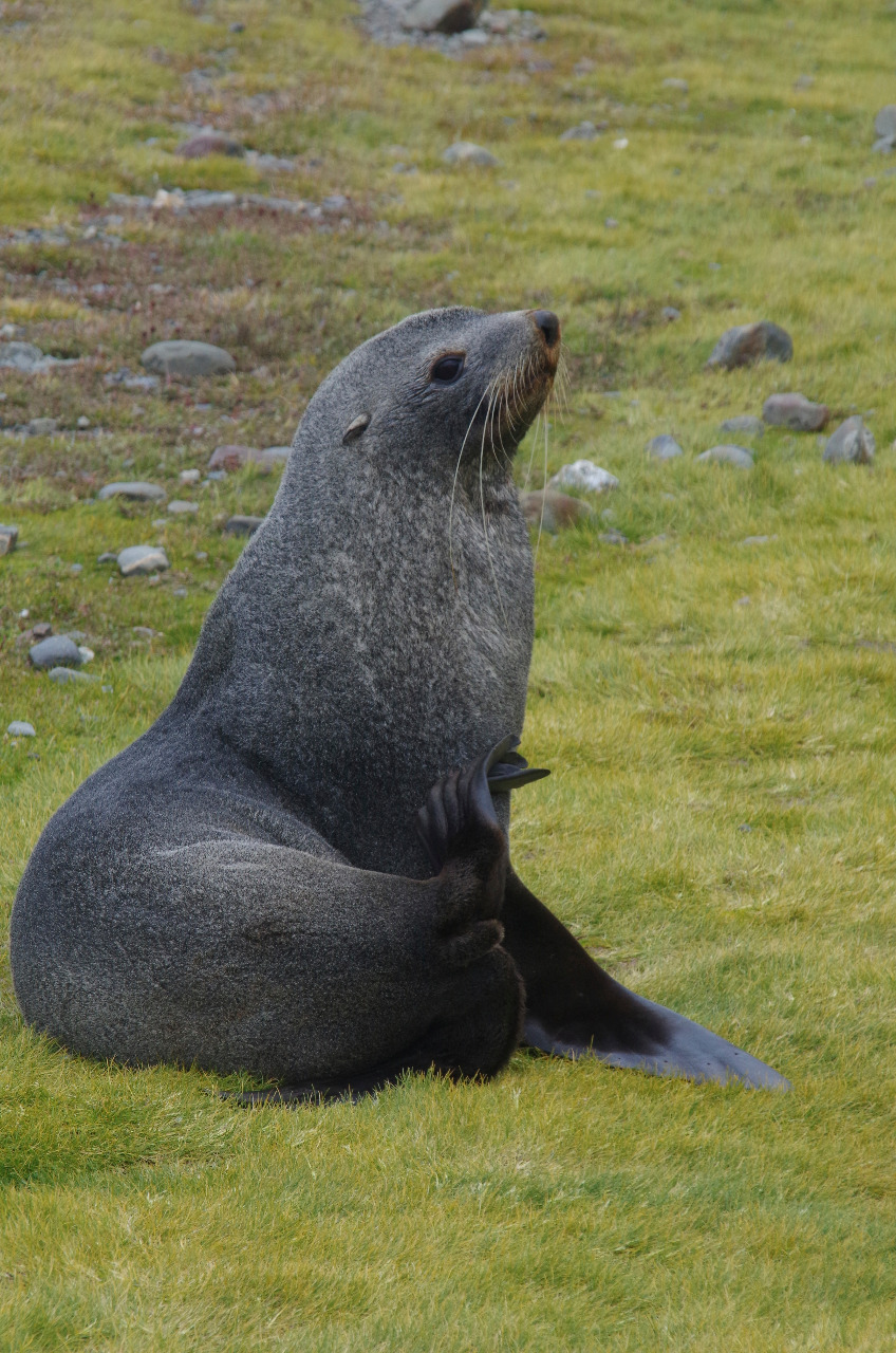 Healthy male Fur seal...