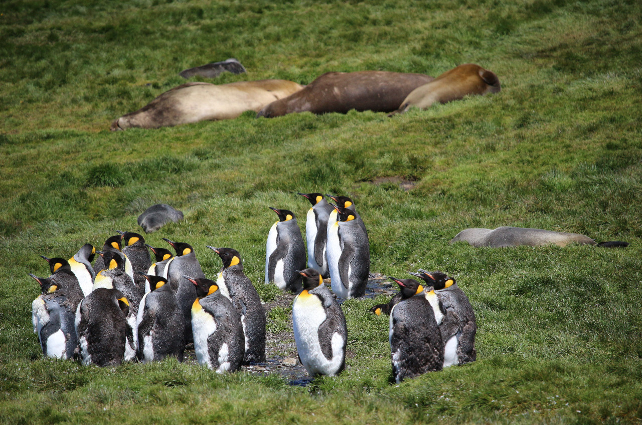 """King penguins and Elephant seals """"sharing"""" space.."""