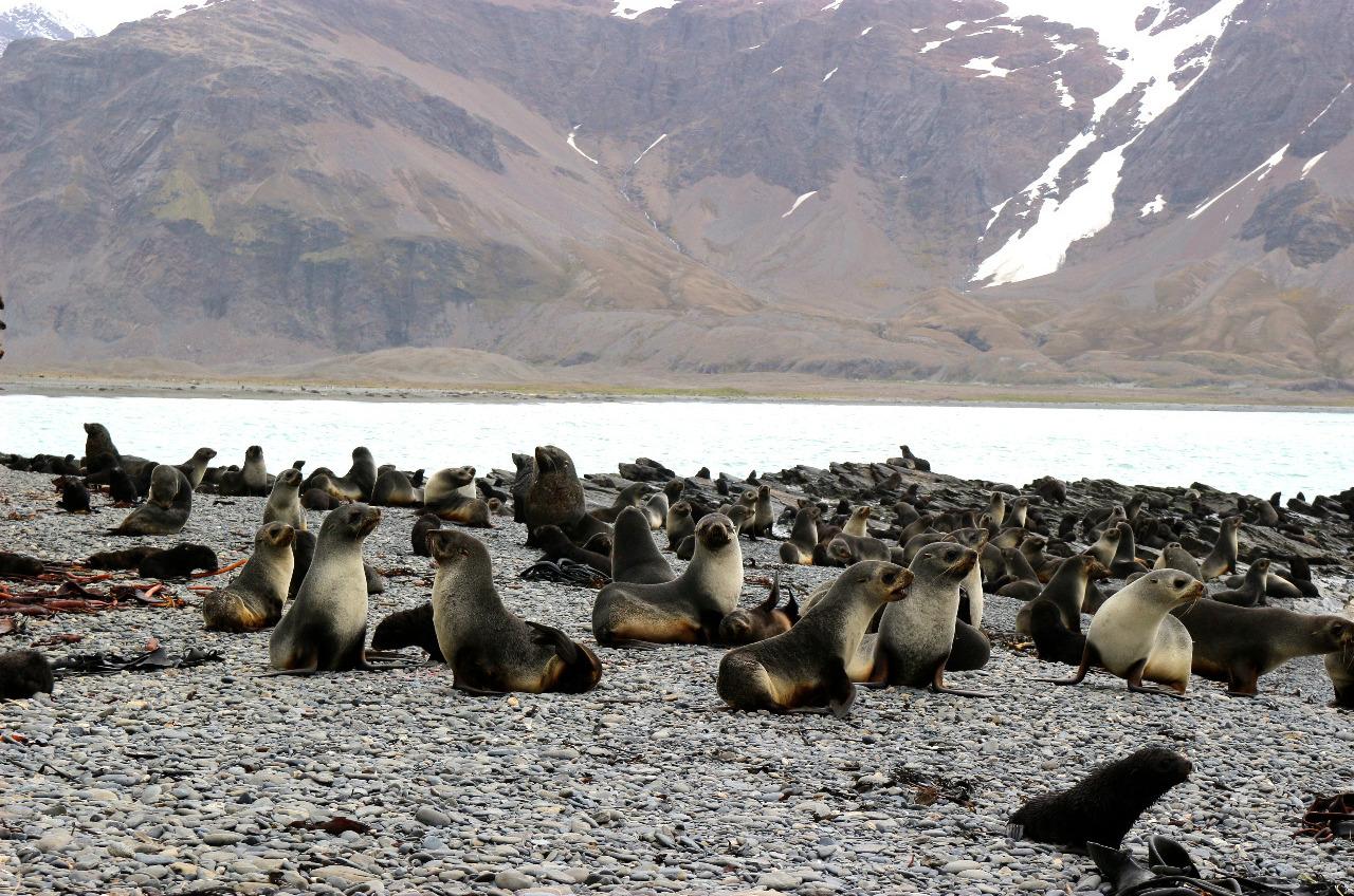 Stromness Fur seals