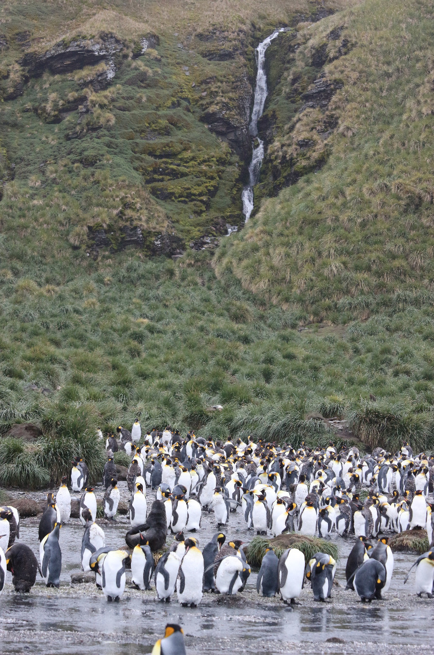 King penguin colony cooling off in the meltwater..