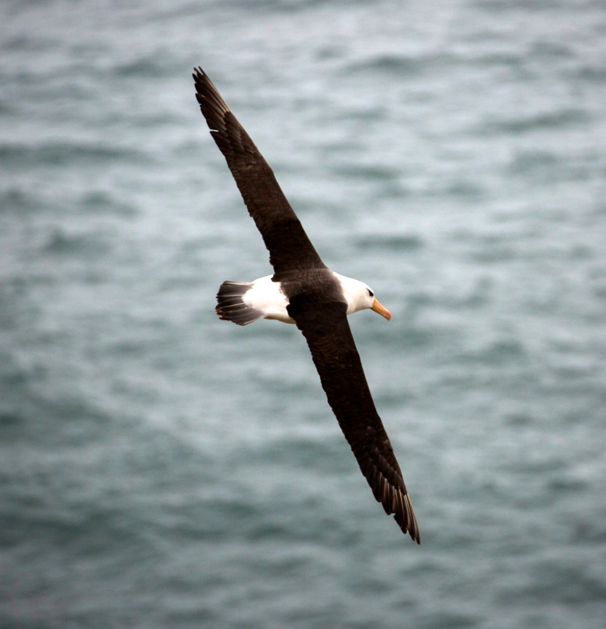 Magnificent Black-browed albatross- still with us!