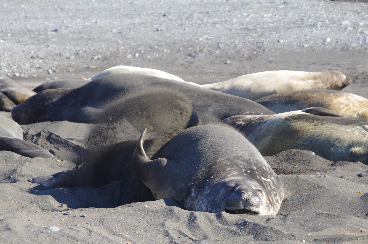 ELEPHANT SEAL: THROWING SAND...