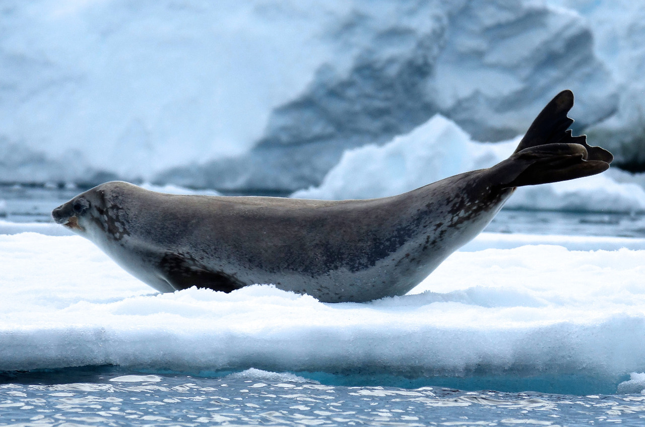 CRABEATER SEAL... DOING HER MORNING PILATES...