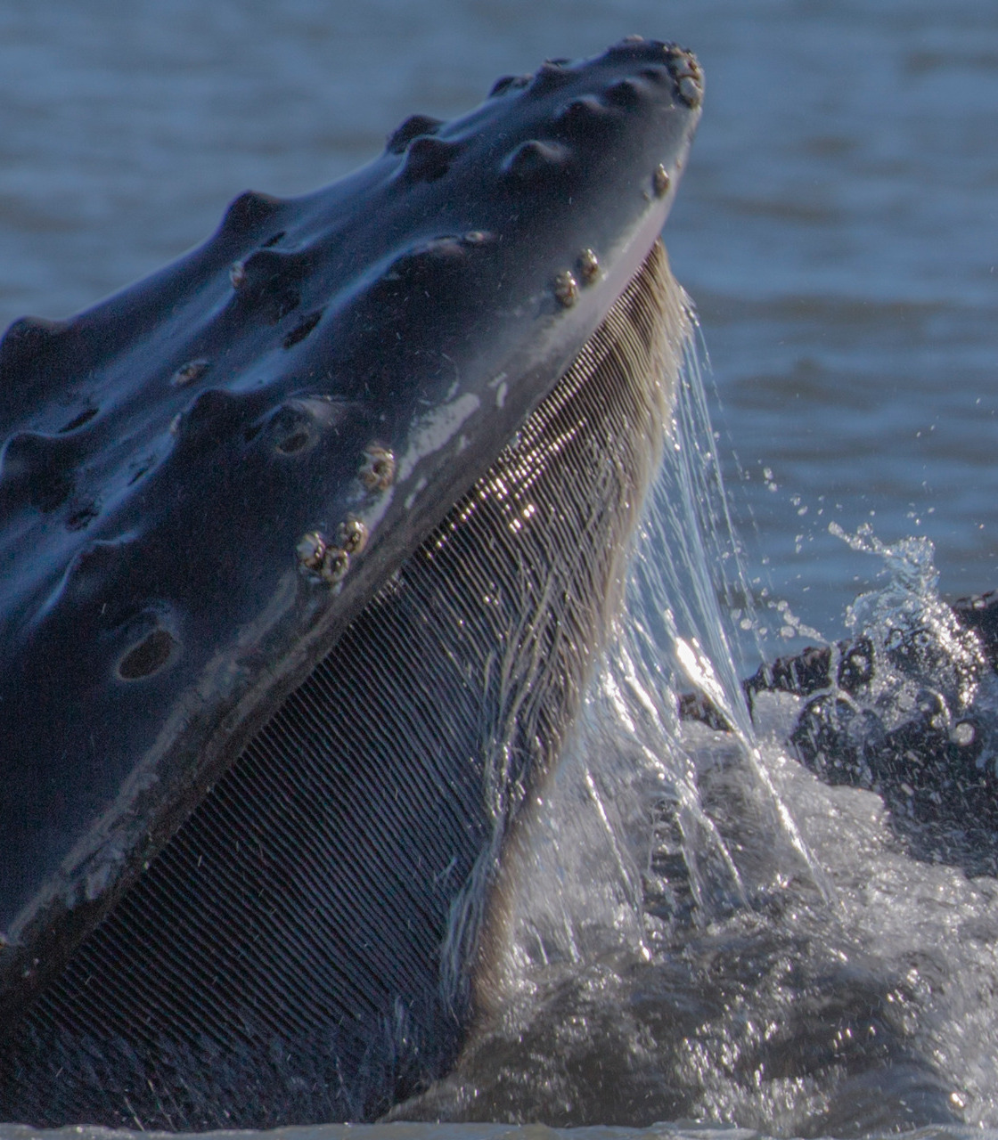 CLOSE-UP OF HUMPBACK WHALE BALEEN...