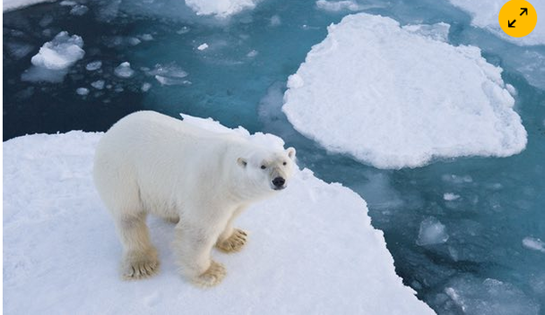 POLAR BEARS ARE BECOMING ENDANGERED...