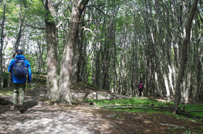 Beech forest of squeaky trees