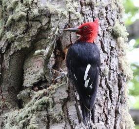 Magellanic woodpecker