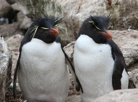 A happy Rock-Hopper couple