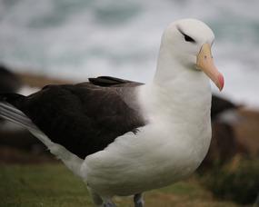Black-browed albatross adult