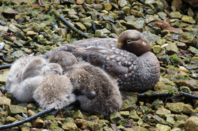 Falkland flightless steamer ducks (male/chicks)