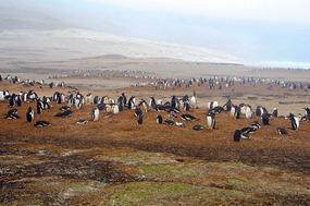 Gentoo penguin colonies