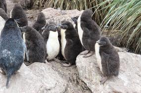 Rock-hopper chicks in a creche