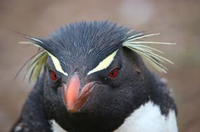 Rock-hopper penguin - Look into my eyes...