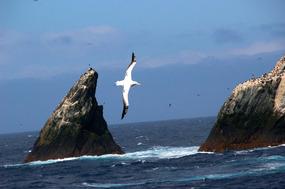 Wandering albatross at Shag Rocks