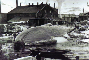 Blue Whales waiting to be processed ~ early 1900s