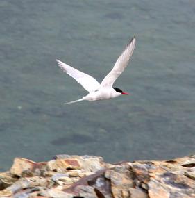 Dive-bombing Antarctic tern