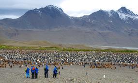 Massive King penguin colony